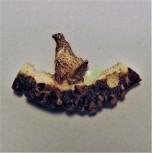 Hirschrose Motiv Birkhahn