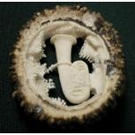 Geschnitzte Hirschrose Tuba