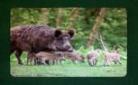 """Tischset Untersetzer Wildmotiv """"Wildsau"""""""